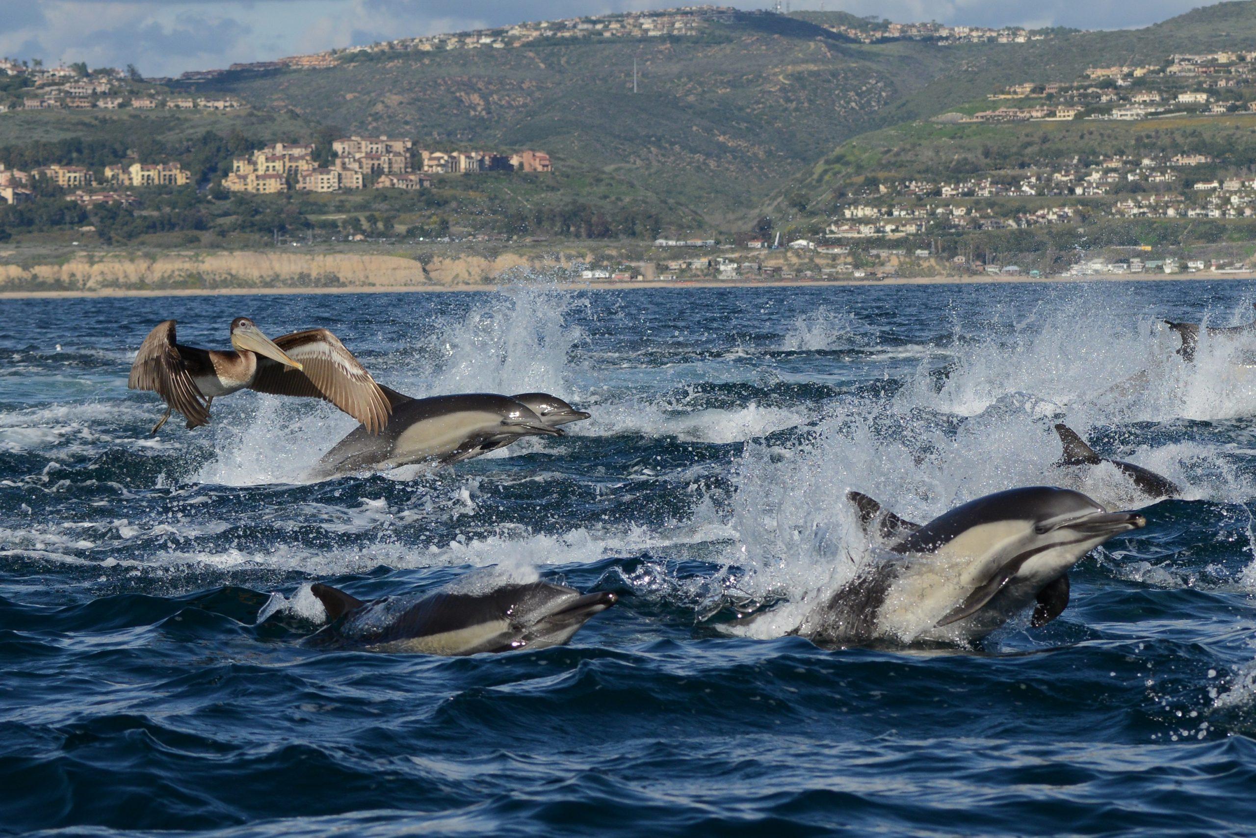 Newport Beach Whale Watching Newport Landing Davey's Locker Pelicans and Dolphins