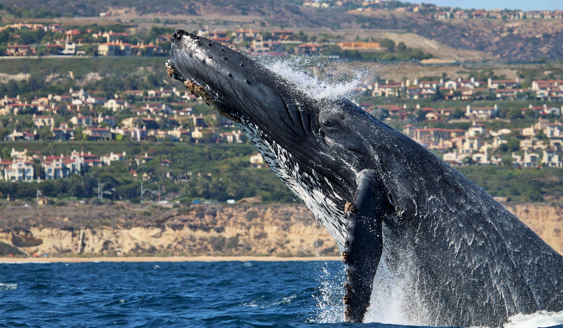 Newport Beach Whale Watching Newport Landing Davey's Locker Wally Jumps